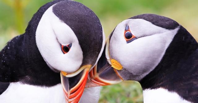 atlantic_puffin_puffin_bird_couple_beak_56853_1920x1080.jpg
